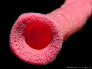 &quot;Candyman&quot; A closeup shot of a tube-sponge. by Rico Besserdich 